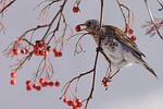 fieldfare, bird, municipal