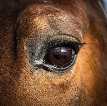 Horse Eye Equine Head Animal Equestri