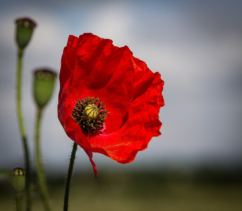 free photo poppy, flower, red, spring, nature  free image on, Beautiful flower