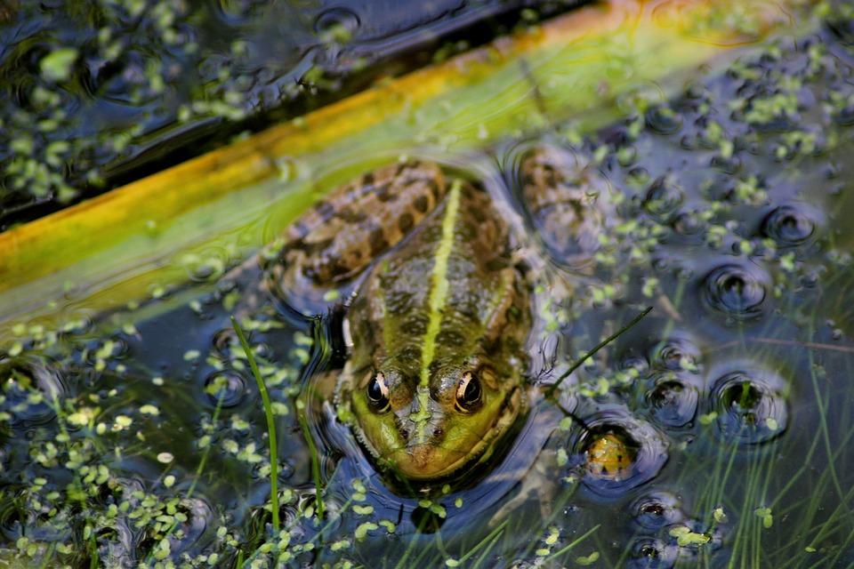 La mare aux grenouilles - Maurice Rollinat Frog-pond-1963065_960_720
