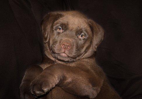 Labrador Puppies For Sale in Arizona, AZ
