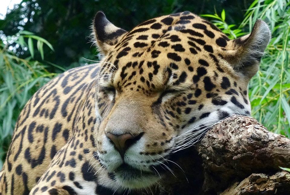 jaguar animaux sauvages zoo - photo gratuite sur pixabay