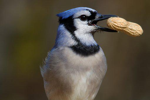 Blue Jay Eating Peanut Bird Jay Wildlife A