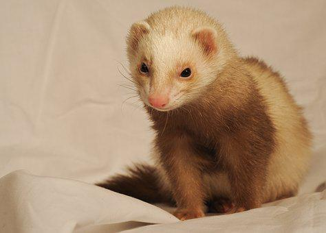 Ferret White Sheet Domestic Animal Ferret