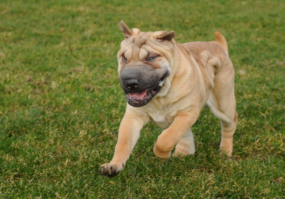Dog, Sharpei, Run, Language, Animal