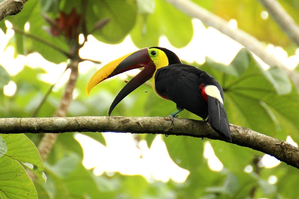 Tucán, Dorso Pardo-Tucán, Costa Rica, Mesoamérica