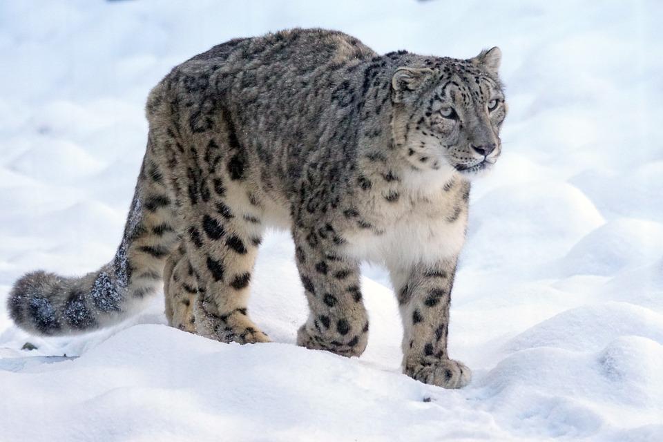 Snow Leopard Predator Big Cat Free Photo On Pixabay