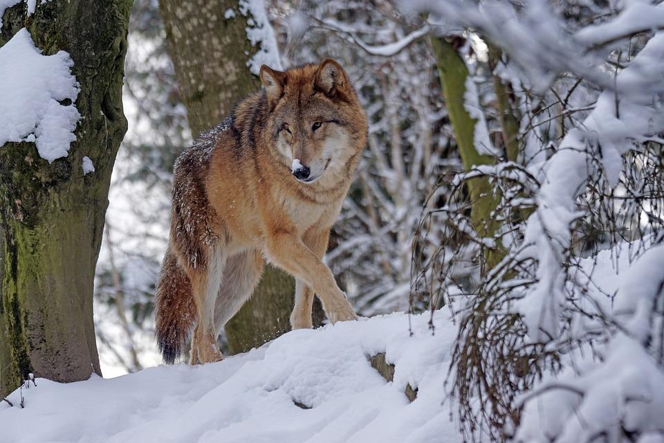 Wolf, Raubtier, Mongolisch, Mongolischer Wolf, Predator