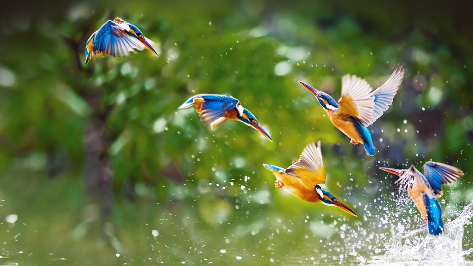 صورة لمجموعه من الطيور الملونة تطير ويلهون فوق مياه