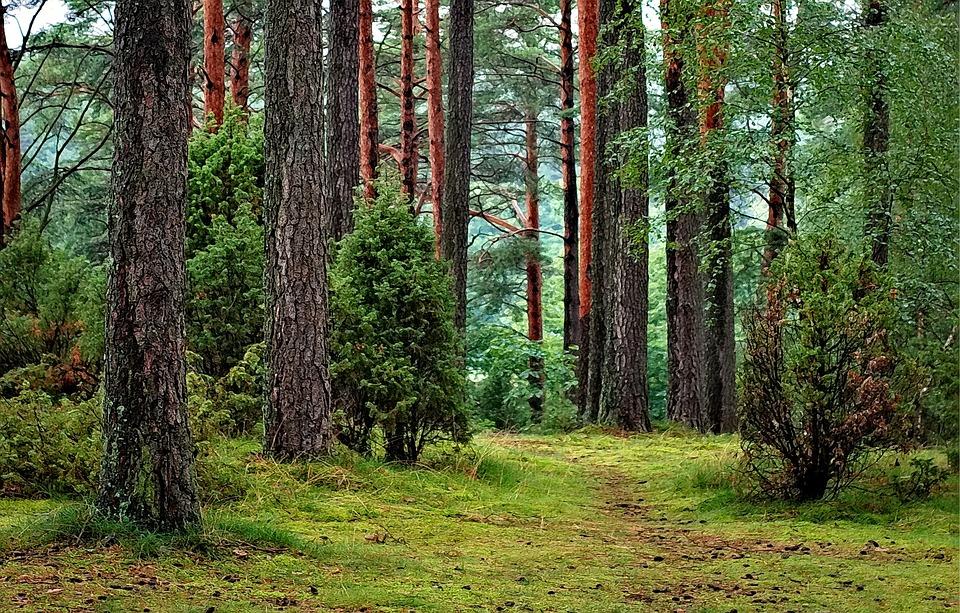 Las, Bory Tucholski, Polska, Turystyka, Natura, Drzewo