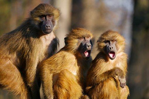 Tiere, Affen, Berberaffen, Drei Affen