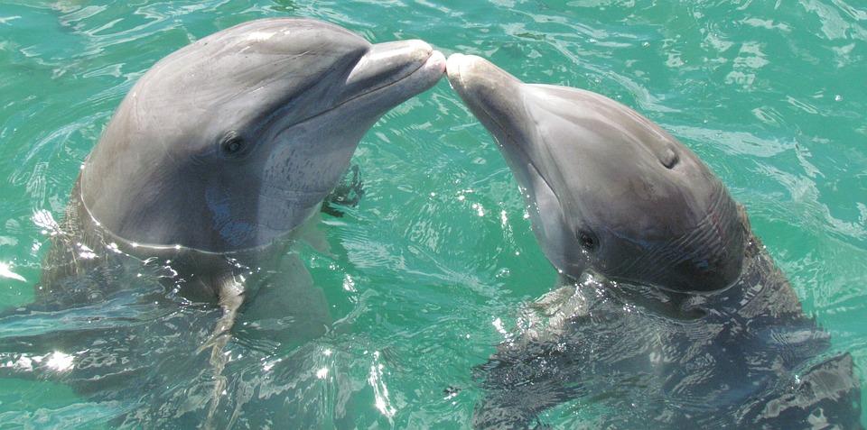 Dolphin, Sea, Love, Kiss