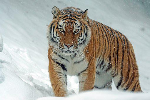 Amurtiger, Tiger, Big Cat, Siberian
