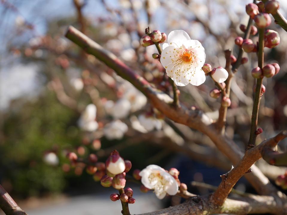 Spring Samusakura Sprout Free Photo On Pixabay