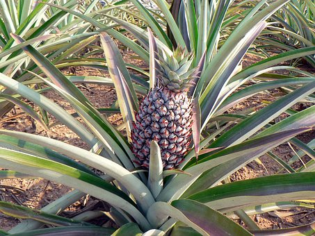 Pineapple Culture Agricultural Plant Field