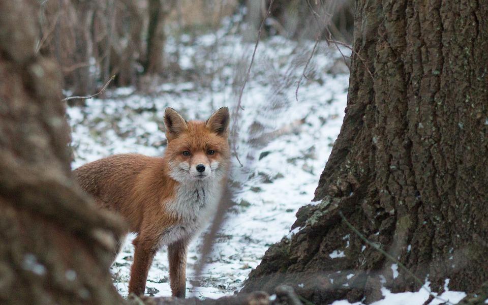 Fuchs Schnee Winter Kostenloses Foto Auf Pixabay