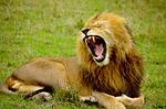 lion, male, animal