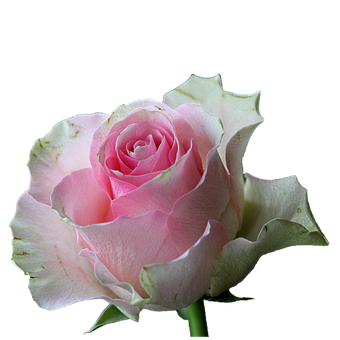 White roses images pixabay download free pictures flower blossom bloom rose white pink isola mightylinksfo