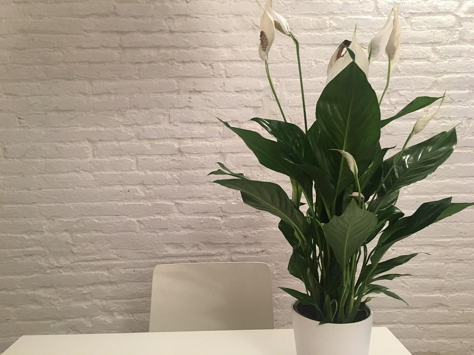 Plant, Peace Lily, Inside, White, Design, Decoration