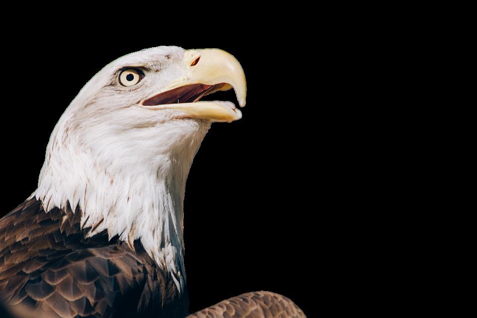 Adler Águila Calva Aves Ave De · Imagen gratis en Pixabay