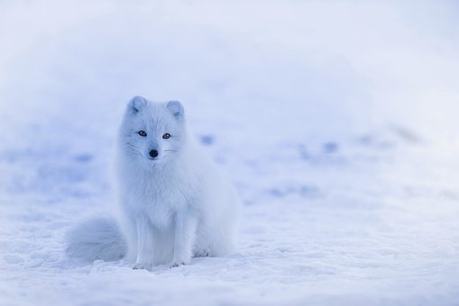 Iceland, Arctic Fox, Fox, Animal