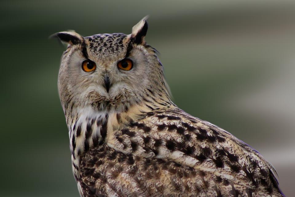 Célèbre Photo gratuite: Chouette, Bird, Oiseau De Proie - Image gratuite  PC18
