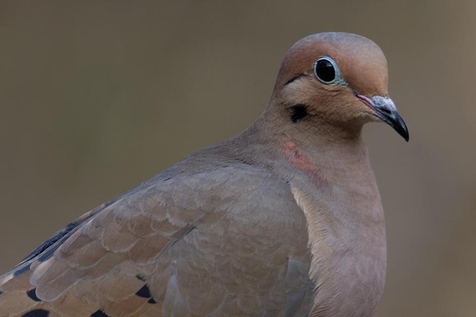 Mourning Dove, Bird, Dove, Wildlife, Nature, Avian