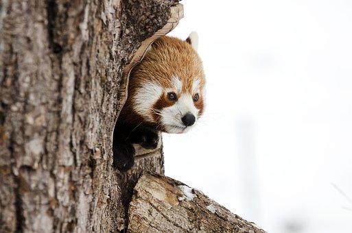 Red Panda, Chinese Panda, Animal, Winter
