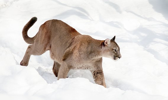 Puma Mountain Lion Cat Big Cat Predator Sn