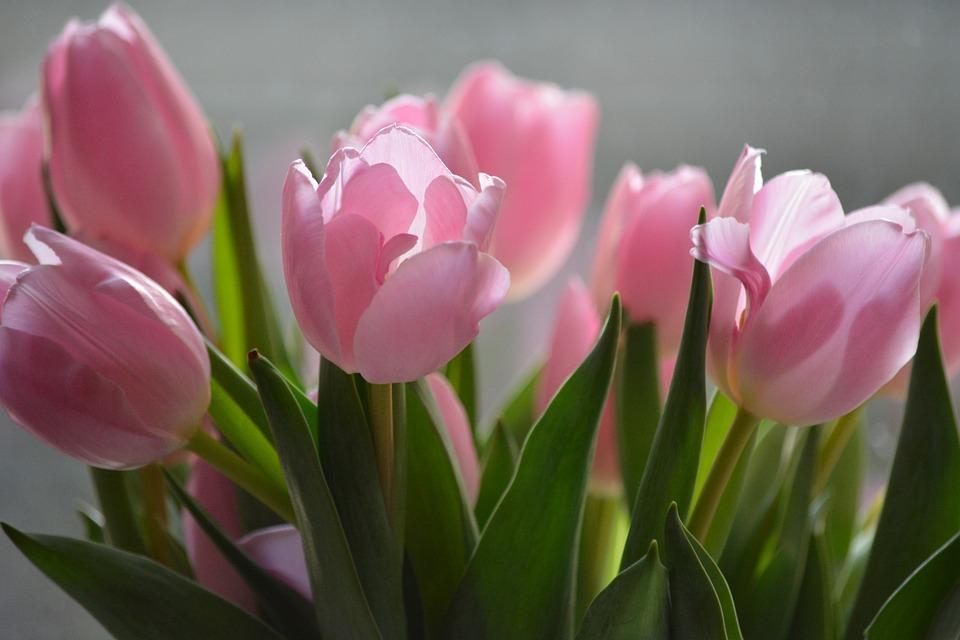 Fotos de flores tulipanes