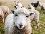 irlandia, owiec, jagniąt