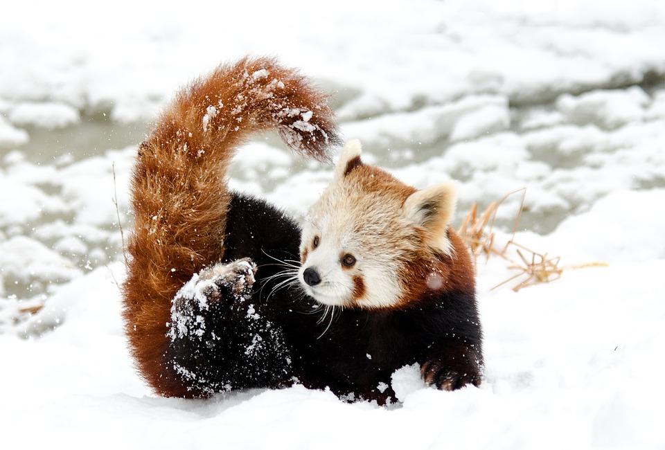 Chinese Panda, Red Panda, Snow, Play, Zoo, Winter, Cold