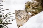snow leopard, lampart, kot duży