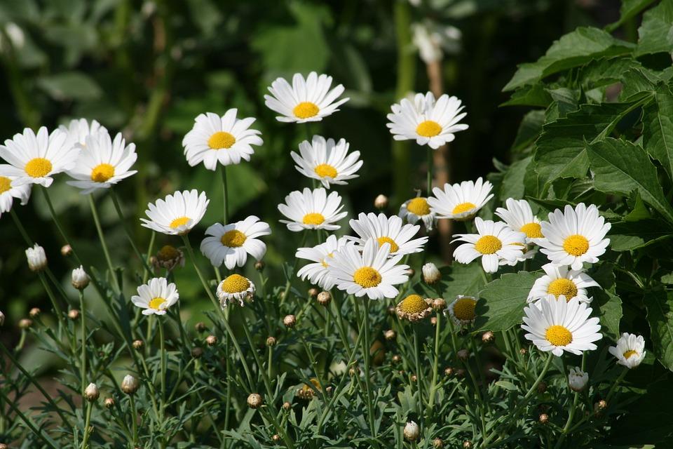 Bunga Chamomile Tanaman Foto Gratis Di Pixabay