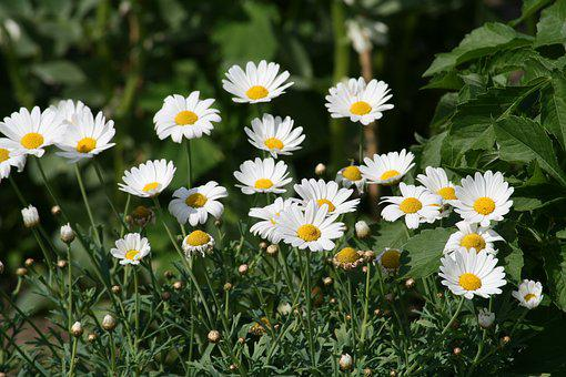 Image result for free images of chamomile