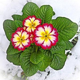 Plant, Primrose, Cowslip, Primula