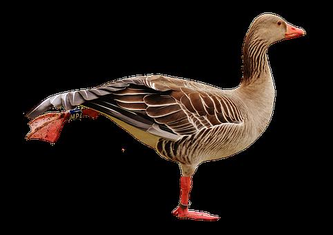 Goose, Bird, Isolated, Feather