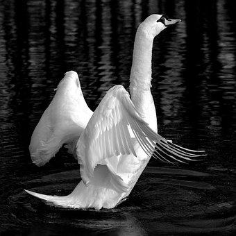 Cisne, Animales, Lago, Blanco, Aves