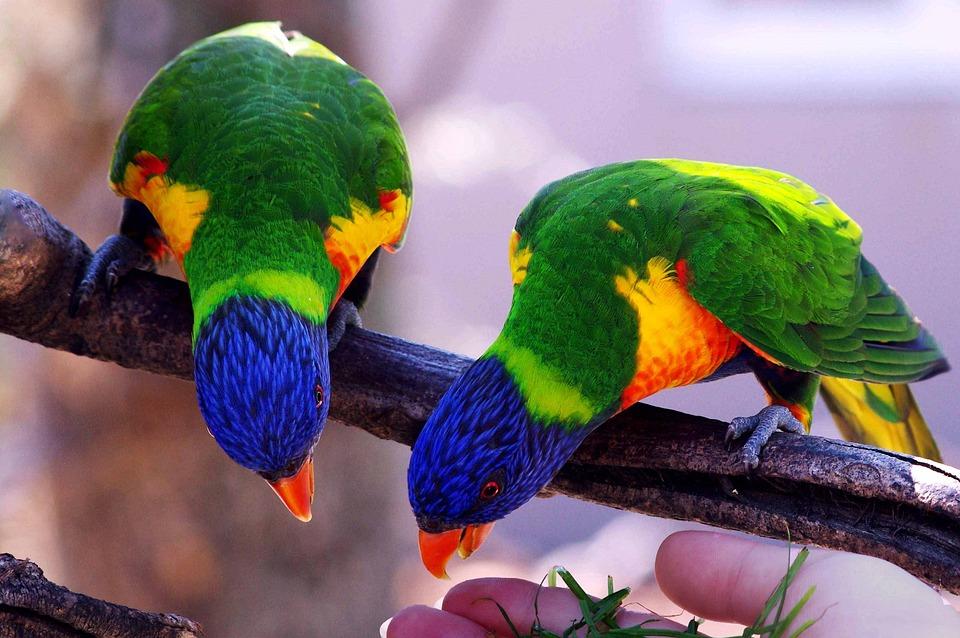 Parrots Bird Inseparable Villars Dombes Color