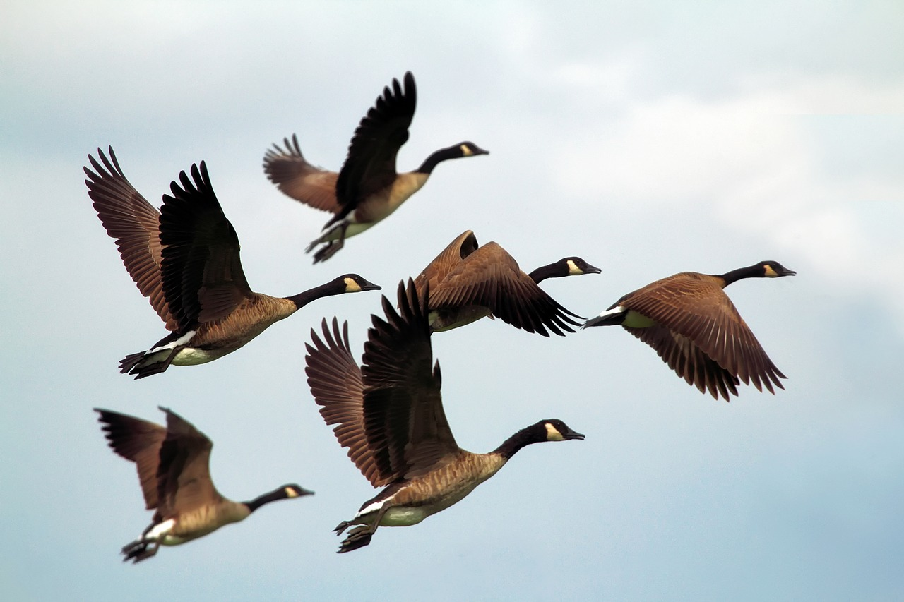 Geese flying in unison