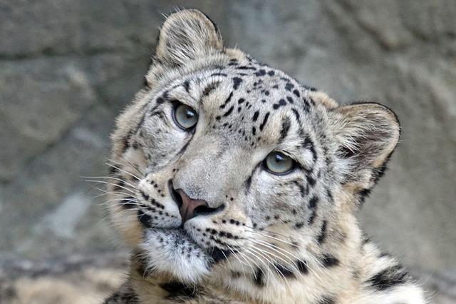 Snow Leopard Irbis Female · Free Photo On Pixabay