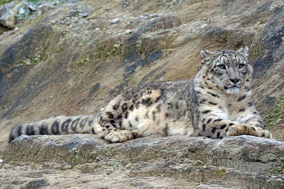 Snow Leopard, Irbis, Männllch, Predator, Carnivores