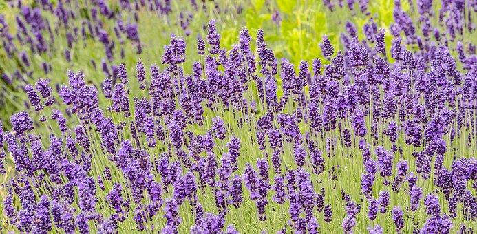 Fleurs, Lavande, Jardin, Plantes, Purple