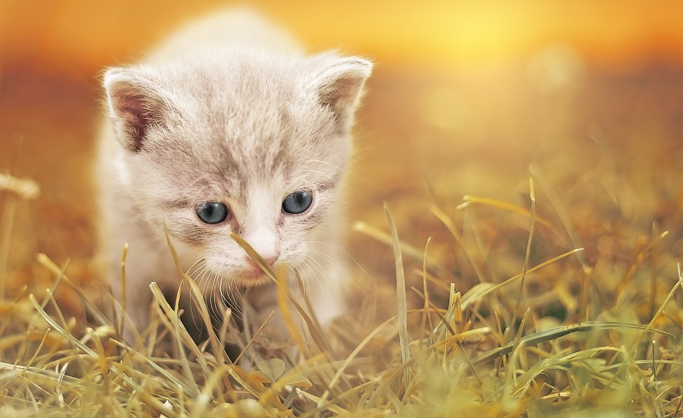 Cat Cute Baby Free Photo On Pixabay