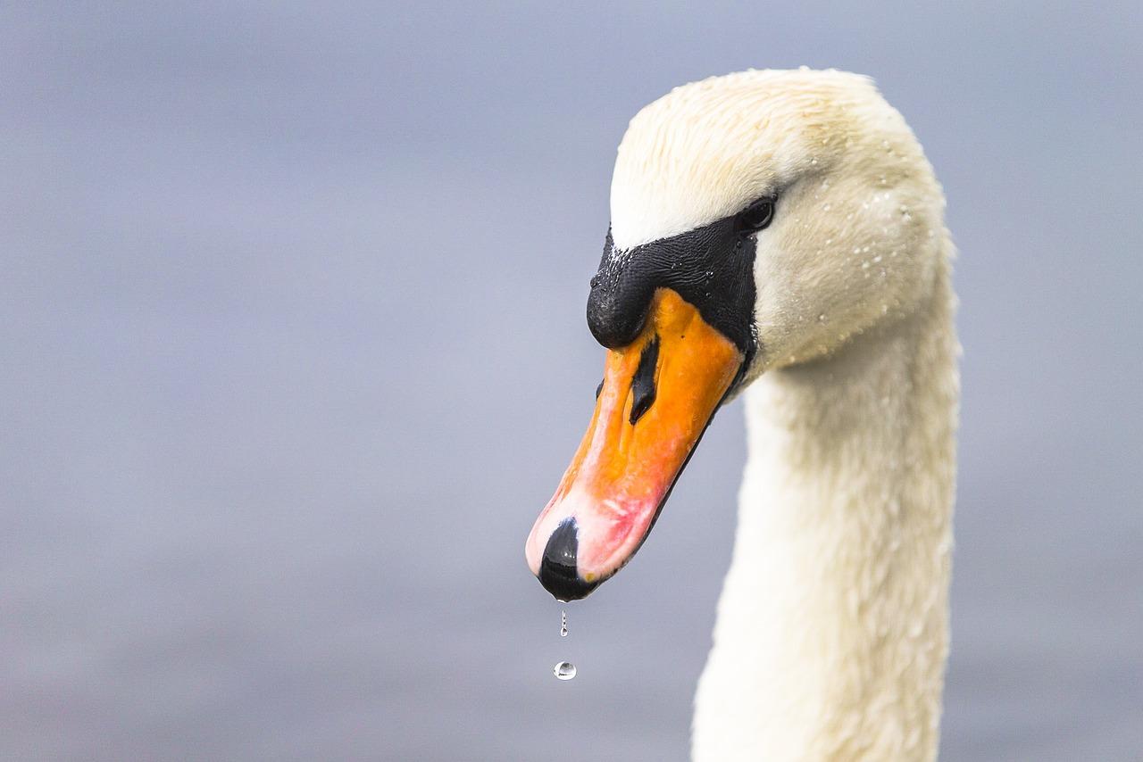 голова лебедя фото прекрасным