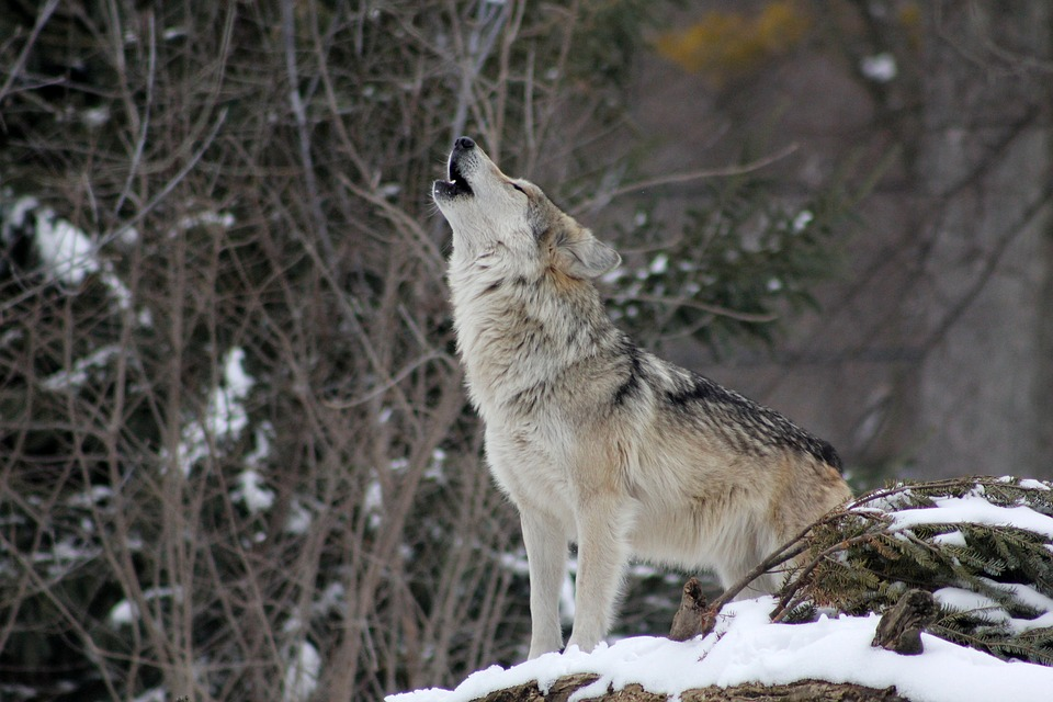 Wolf, Howling, Animal, Wild, Nature, Wildlife