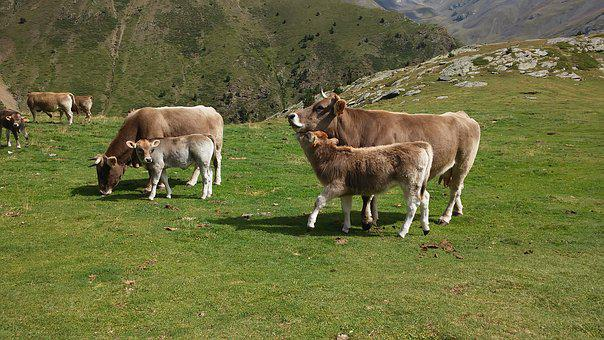 Cows, Mountain, Nature