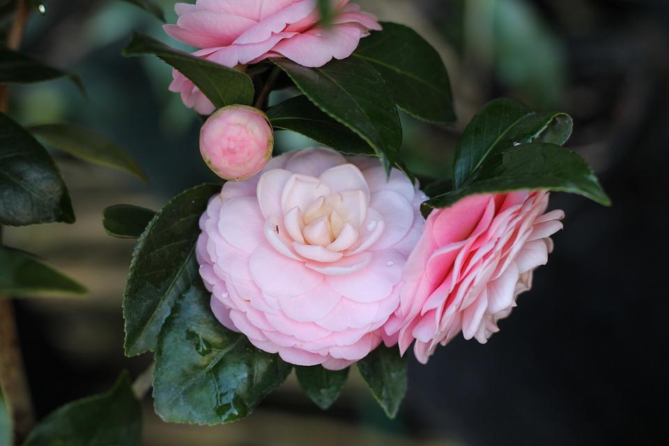 kamelie blume rosa kostenloses foto auf pixabay. Black Bedroom Furniture Sets. Home Design Ideas
