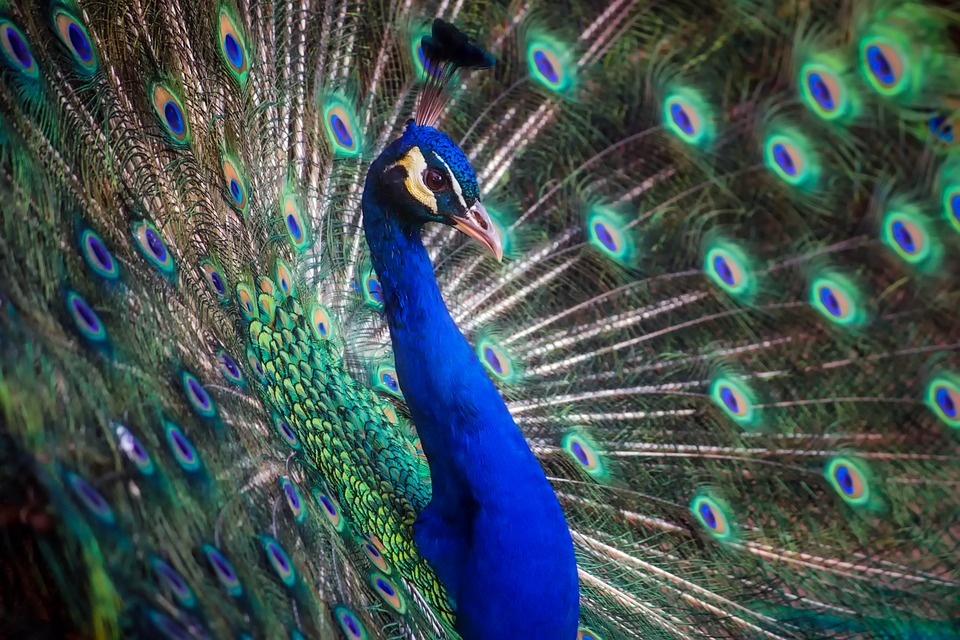 peacock bird colors free photo on pixabay
