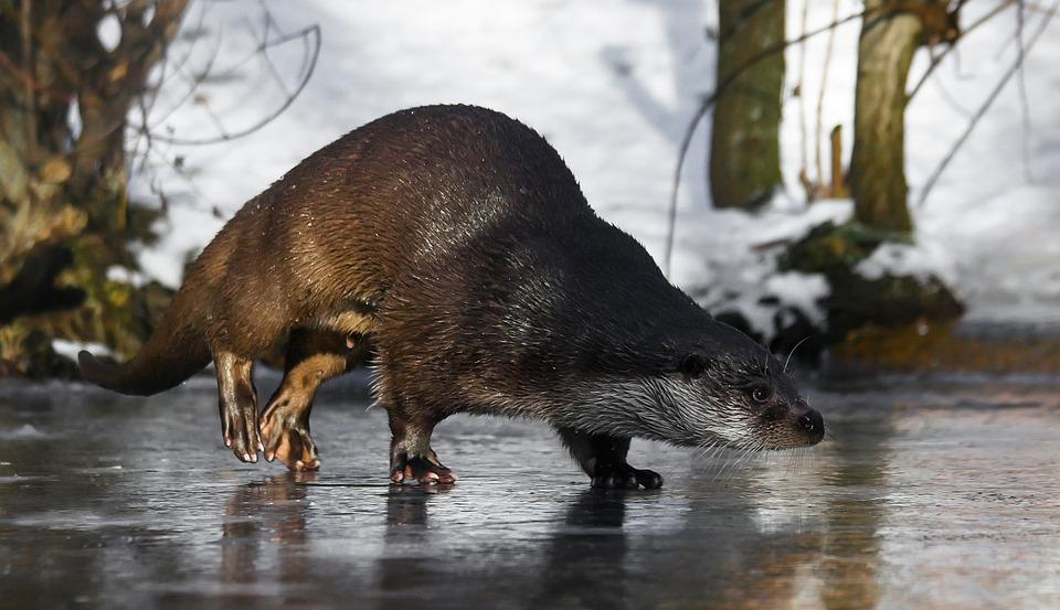 Tier, Otter, Fischotter, Wasser, Eis, Laufen, Rutschen